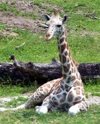 baby-giraffe.jpg