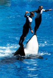 Trainers riding the noses of Killer Whales (Shamu)