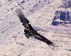 One of the rare California Condors in flight.